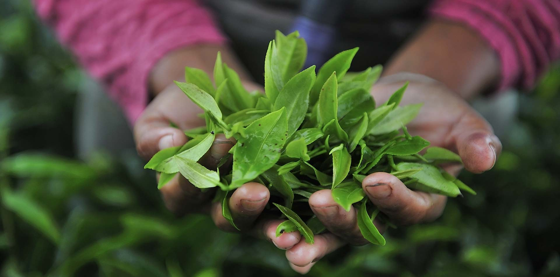 Tea Leaves in Woman's Hand, India