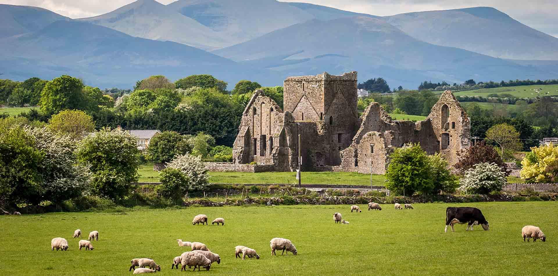 Sheep Grazing Near Castle in Ireland