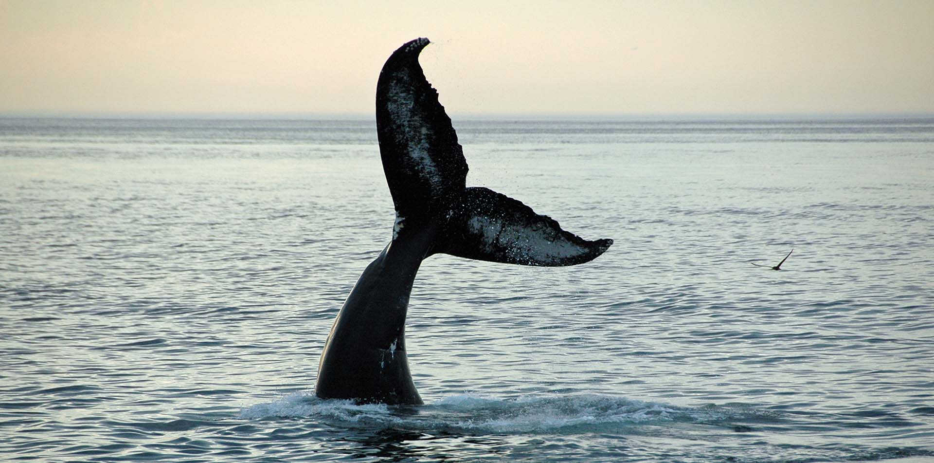 Fin of a Humpback Whale, Quebec