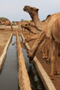 camels and troughs