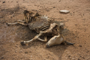 Cow Carcass in Kenya Drought