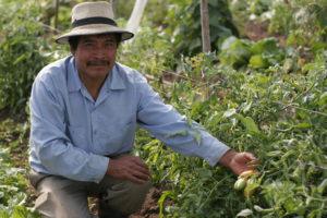 Guatemalan man growing chiles