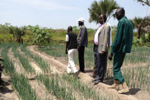 After terrible floods in parts of South Sudan, crops like these onions are growing again