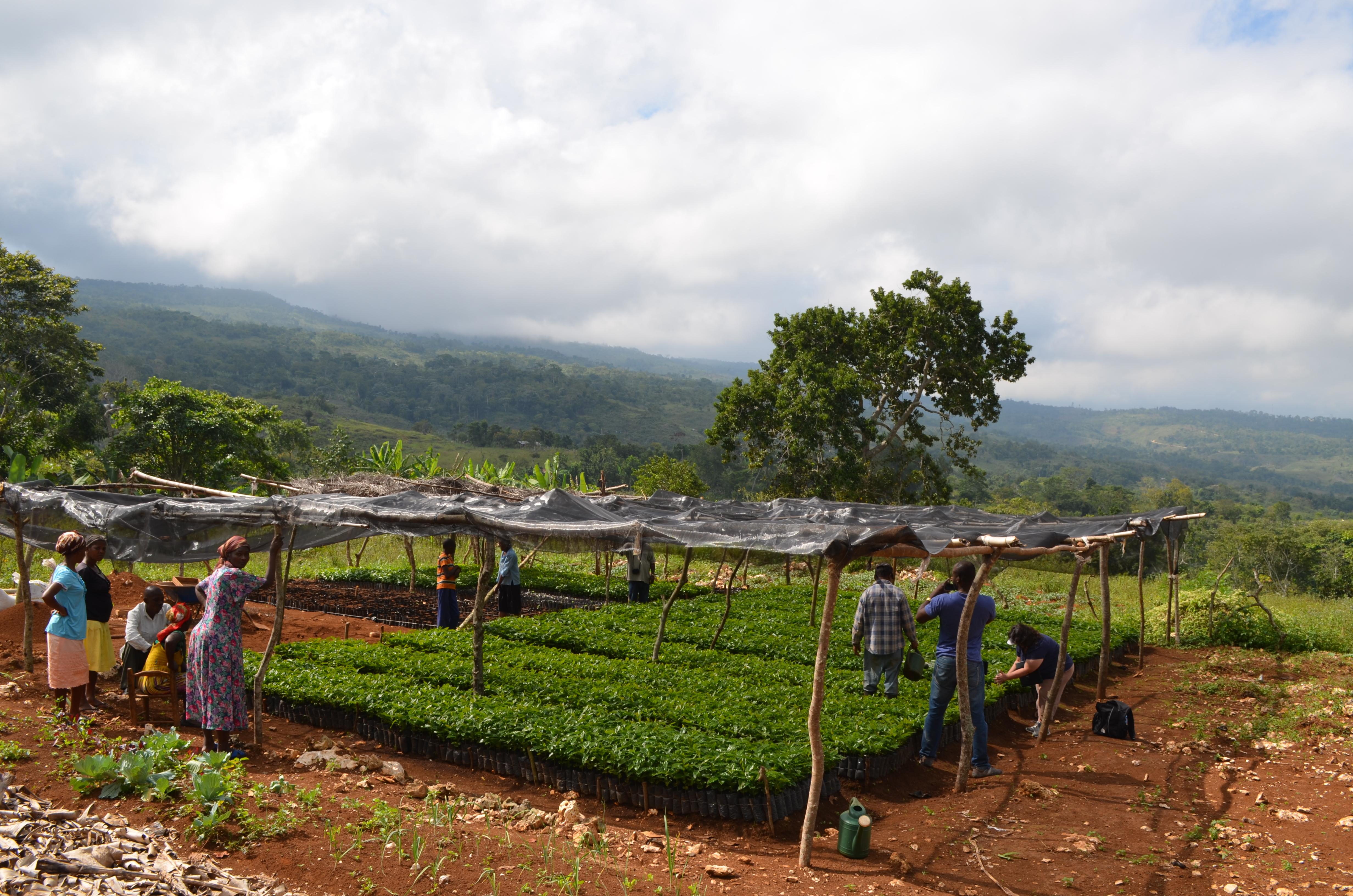 Coffee nursery in Belladere, Haiti