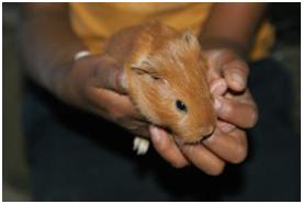 A baby Guinea pig.