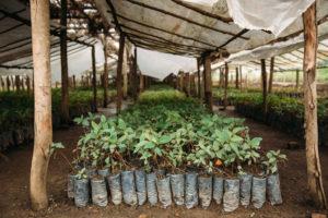 Tree seedlings grow inside of a nursery in the Democratic Republic of Congo.