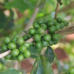 Giving coffee seedlings