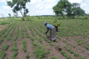 South Sudanese refugee works in restorative agriculture on a plot of land with green crops.