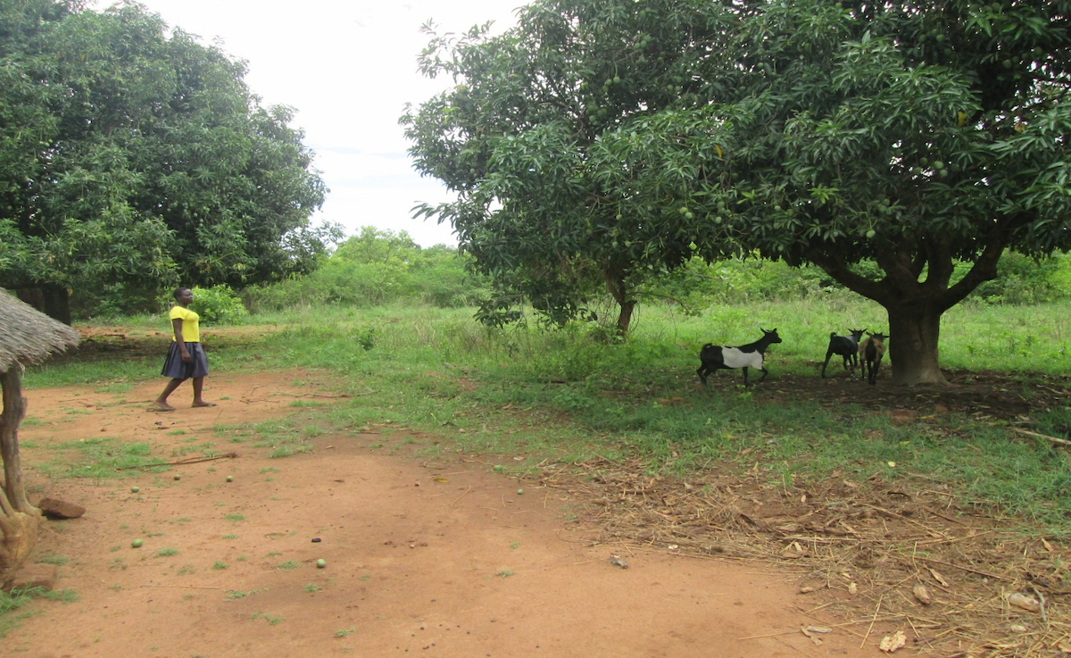 Girl in yellow shirt walking toward several goats under a tall tree