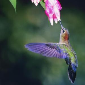 hummingbirdaskville
