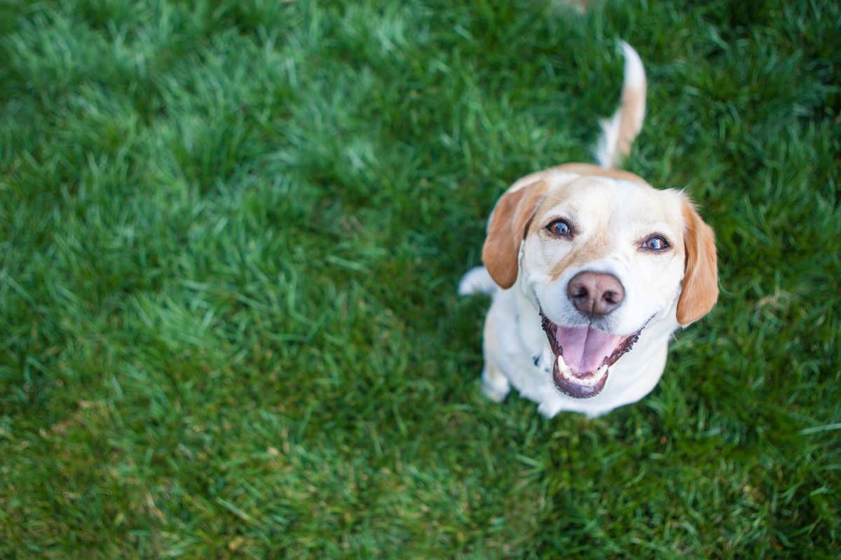 Pet dogs may be able to ferret out the coronavirus