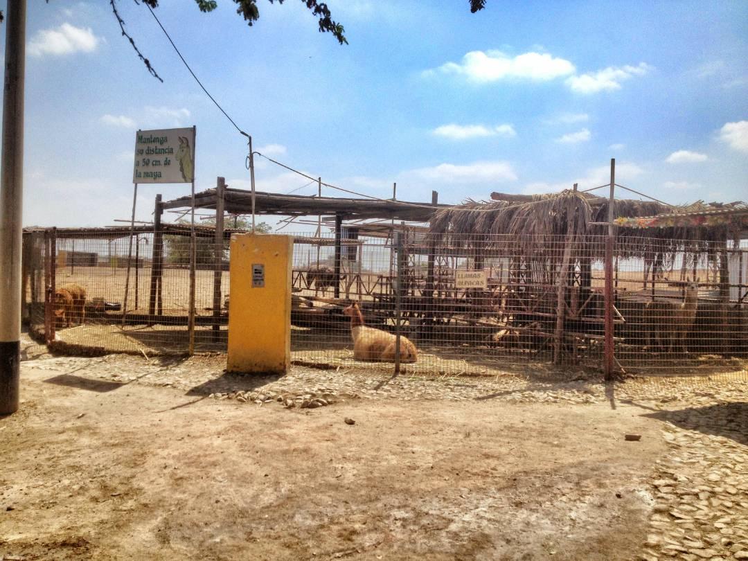 Llama and Alpaca enclosure