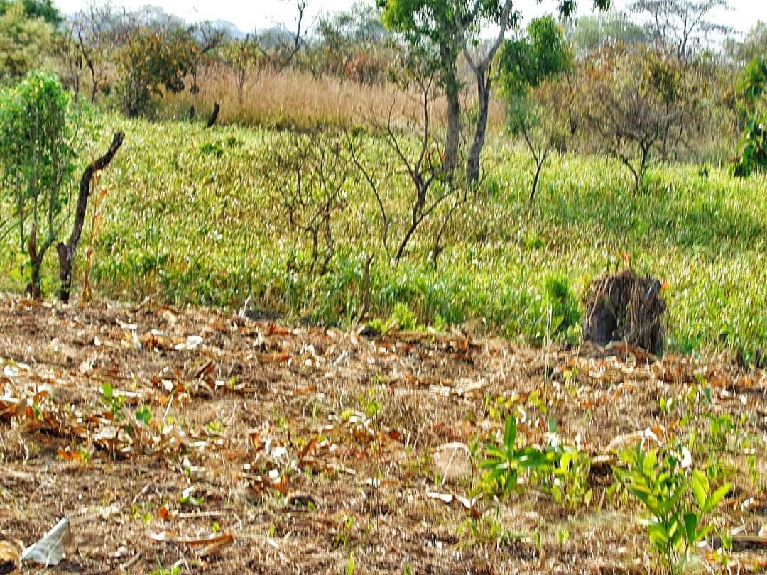 Fields of sorghum