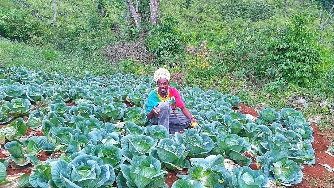 Organic Farm in 9 Mile, Jamaica
